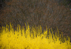 Forsythias Blooming and Red Bud Tree Stock Image
