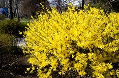 Forsythiastadsflora cityscape blomma forsythia Fj?dra sammans?ttning Bush busken blommar yellow V?r Ris med blomman arkivbilder