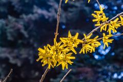 Forsythiastruik met gele bloemen stock afbeeldingen