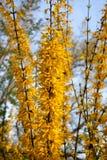 Forsythiastruik met heldere gele bloemen stock foto's