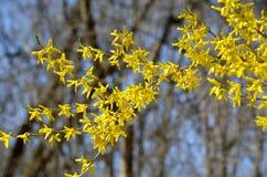 Forsythiatak met gele bloei Royalty-vrije Stock Afbeeldingen