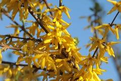 Forsythiatak met gele bloemen tegen de hemel Royalty-vrije Stock Afbeelding