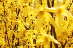 Forsythiaträdet blommar i vårtid Royaltyfria Bilder