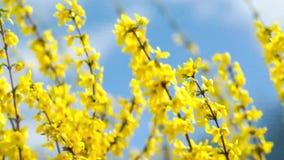 Forsythie bepflanzt im Wind mit Büschen stock footage