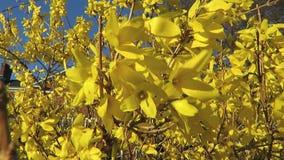 Forsythie-Blumen im Wind stock video footage