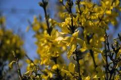 Forsythie intermedia Blumen und Niederlassungen stockfotografie