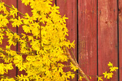 Forsythie in voller Blüte Lizenzfreies Stockfoto