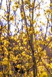 Forsythieblüte im Frühjahr Stockbild