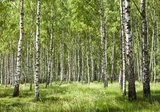 Forêt 2 de bouleau Image libre de droits
