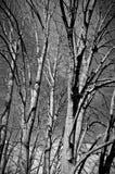 Forêt avec des arbres de tilleul Photos stock