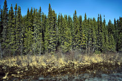Forêt boréale dense Photographie stock