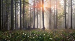 Forêt carpathienne magique à l'aube Photo stock