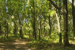 Forêt d'acajou Image stock
