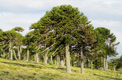 Forêt d'arbre d'araucaria Photographie stock libre de droits