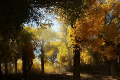 Forêt d'arbre d'euphratica de Populus en automne Image libre de droits