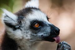A catta lemur shows the tongue by licking a fruit stock photo