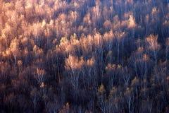 Forêt de bouleau dans le lever de soleil Photo stock