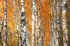 Forêt de bouleau jaunie par automne Photo stock