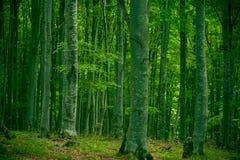 Forêt de hêtre Photographie stock libre de droits