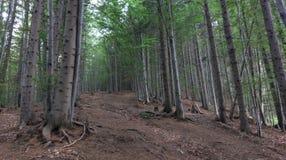 Forêt de hêtre, montagnes de Bucegi, Roumanie Images libres de droits