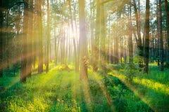 Forêt de pin sur le lever de soleil Photographie stock libre de droits