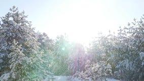 Forêt de sapin d'hiver dans la neige au soleil banque de vidéos
