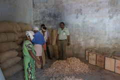 Raw ginger harvest at The All Spice Market, a womens co- operative. In Fort Cochin, Kerela, India.. Fort Kochi, India - 16th November 2017: Raw ginger harvest stock photos