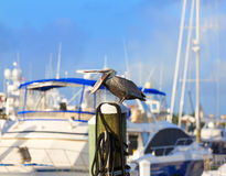 Fort Lauderdale Pelican bird in marina Florida Stock Photography