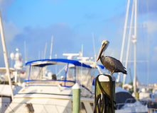 Fort Lauderdale Pelican bird in marina Florida Royalty Free Stock Images