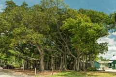 FORT MYERS, FLORIDA - MAY 02, 2015: Edison and Ford Winter Estates Park Tree. Giant Tree in Fort Myers, Florida. Edison and Ford Winter Estates Park Tree. Giant Stock Images