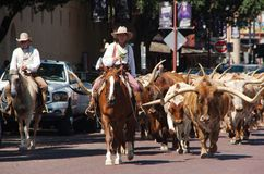 Fort Worth downtown cattle drive. royalty free stock photography