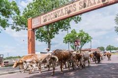 Fort Worth Teksas longhornu bydło Jedzie fotografia royalty free
