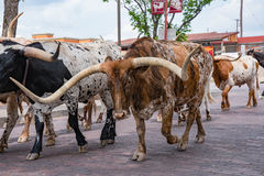 Fort Worth Texas Longhorn Cattle Drive Royaltyfria Bilder