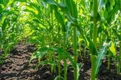 Forte, anche piante di cereale sul campo, nella fase della formazione della roccia, sotto il cielo soleggiato Fotografia Stock Libera da Diritti