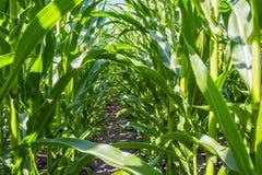 Forte, anche piante di cereale sul campo, nella fase della formazione della roccia, sotto il cielo soleggiato Fotografie Stock