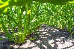 Forte, anche piante di cereale sul campo, nella fase della formazione della roccia, sotto il cielo soleggiato Immagine Stock
