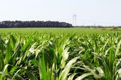 Forte, anche piante di cereale sul campo, nella fase della formazione della roccia, sotto il cielo soleggiato Fotografie Stock Libere da Diritti