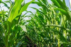 Forte, anche piante di cereale sul campo, nella fase della formazione della roccia, sotto il cielo soleggiato Fotografia Stock