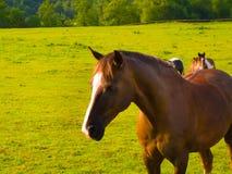 Forte cavallo fiero nel bello campo verde Fotografie Stock