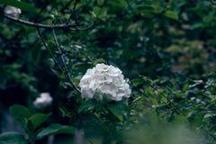 Forte do macrocephalum do Viburnum f keteleeri Carr Rehd Foto de Stock