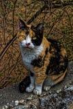 Forte gatto danneggiato con un fronte serio immagine stock libera da diritti