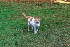 Forte gatto su erba con una linea d'argento sulla sua pelliccia fotografia stock