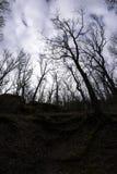 Forte lampadina in una foresta della quercia Fotografia Stock Libera da Diritti