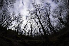 Forte lampadina in una foresta della quercia Fotografia Stock
