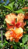 Forte luce sul fiore arancio di fioritura di Hibicus in giardino tropicale Fotografia Stock Libera da Diritti