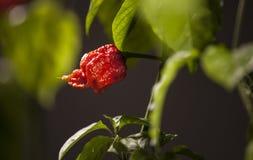 Forte peperoncino di Carolina Reaper Fotografia Stock