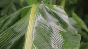 Forte pluie tombant sur des feuilles de banane banque de vidéos