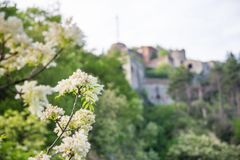 Forte Sperone and a beautiful flower in the foreground. Beautiful puffy white clouds on a blue clear sky. Perfect summer weather in Genoa. This is a scene from royalty free stock photo