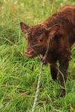 Fortfarande behandla som ett barn vått nyfött röda Angus som kalven roped i den frodiga Missouri ranchen betar för att mäta, vägn royaltyfria bilder