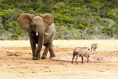 Fortfarande här - afrikanBush elefant Arkivbild